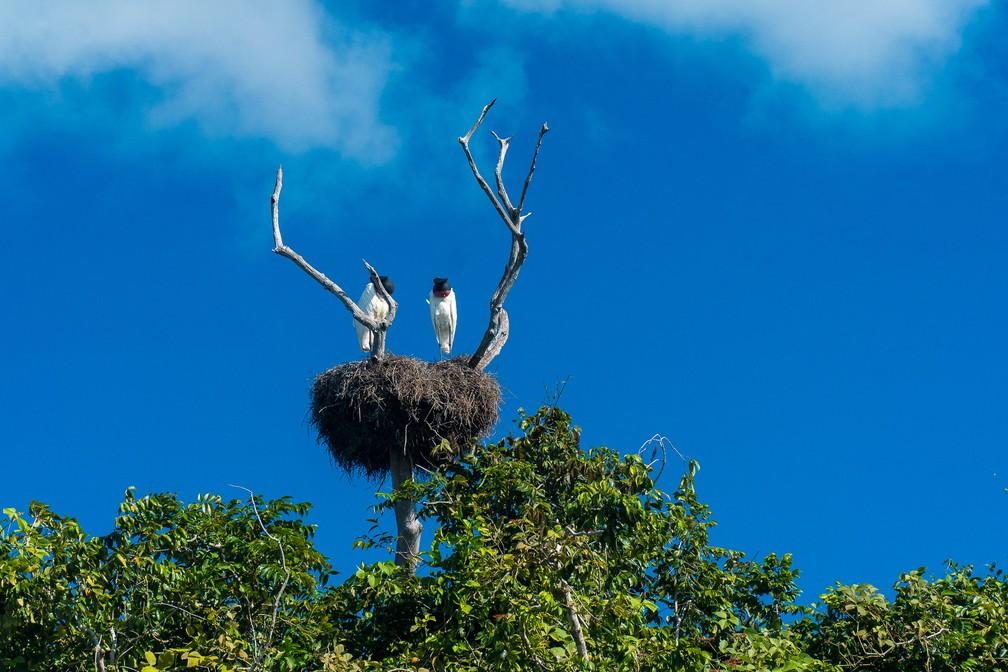 Ninho de tuiuius no Pantanal matogrossense — Foto: Eduardo Palacio/G1