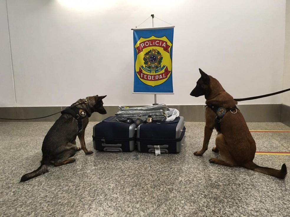 Caes farejadores encontraram 4,8 kg de cocaína em duas malas de passeira espanhola, durante conexão no Aeroporto de Brasília — Foto: Polícia Federal/ Divulgação