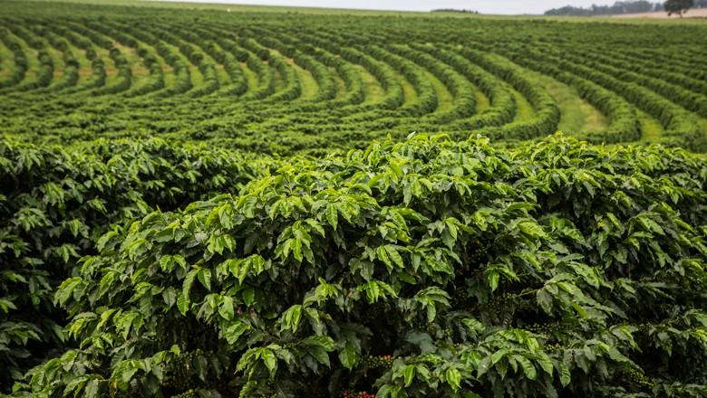café-plantação (Foto: Globo Rural)