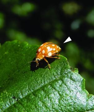 """Nova espécie de fungo que vive em besouros é batizada de """"quarentena"""""""