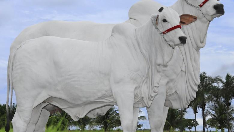 pecuaria-vaca-sophie-leilao (Foto: Divulgação)
