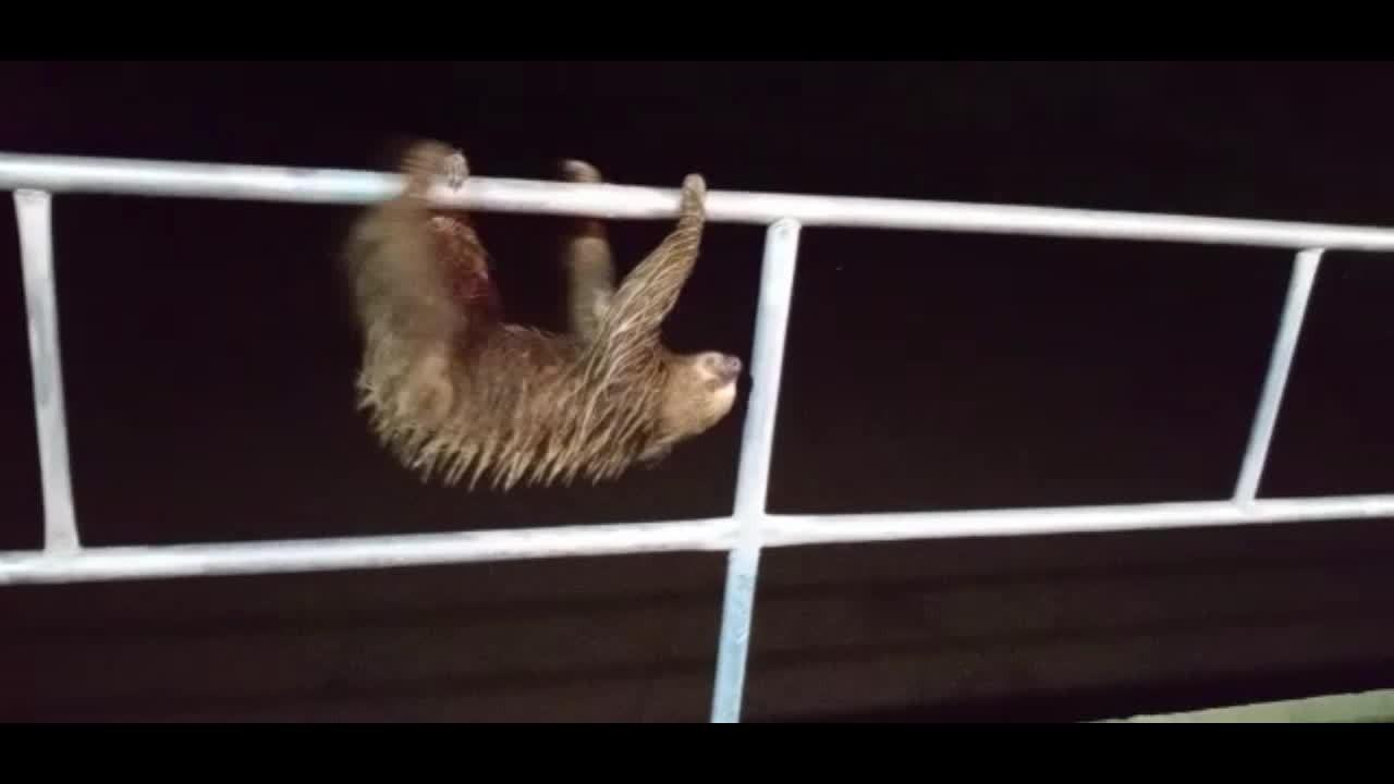 Bicho-preguiça é flagrando 'passeando' em ponte durante toque de recolher em Ji-Paraná, RO