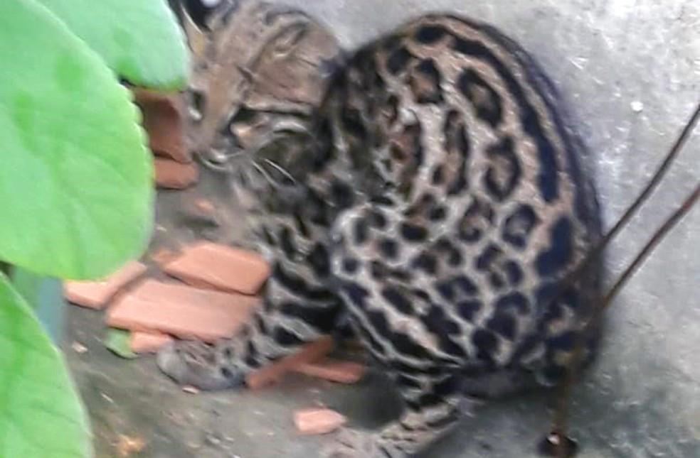 Animal foi capturado e devolvido à natureza — Foto: Arquivo pessoal