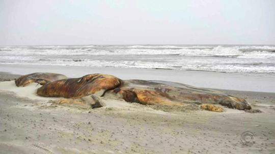 Pesquisadores investigam causa da morte de cinco baleias encontradas no Litoral Sul do RS