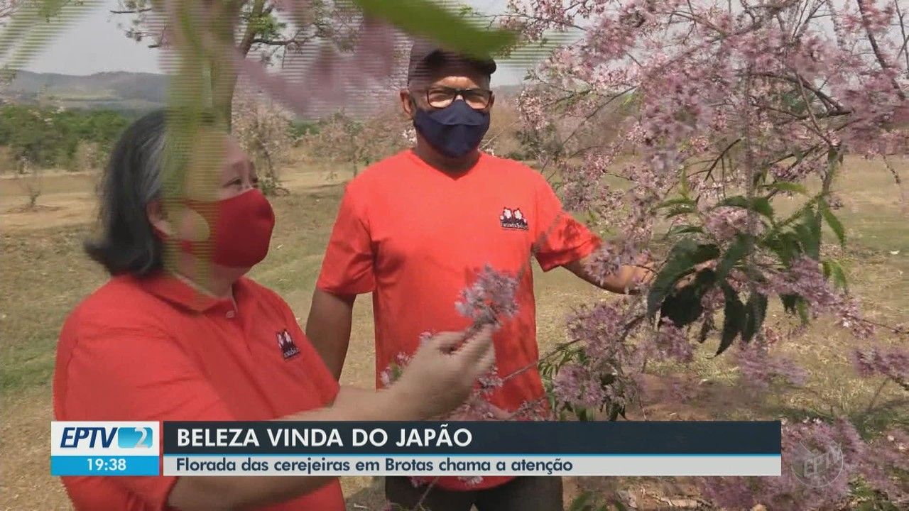 Florada das cerejeiras em Brotas chama a atenção de moradores e turistas
