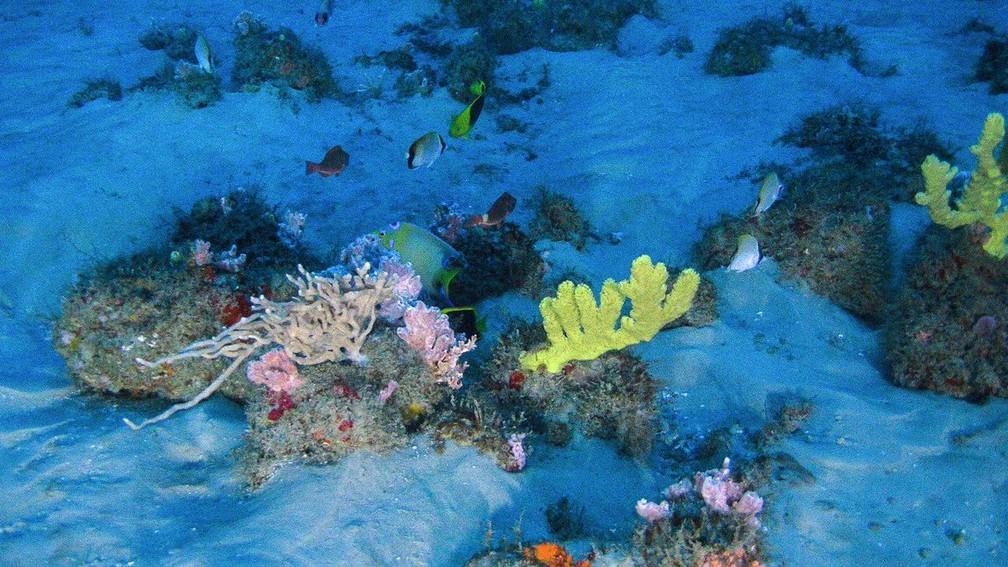 Corais da Amazônia foram localizados em uma área que pode, a qualquer momento, ser liberada para a exploração de petróleo. (Foto: Greenpeace)