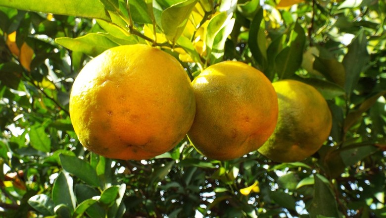 bergamota-tangerina-mexerica-janta (Foto: Pixabay/JPSSantos/Creative Commons)