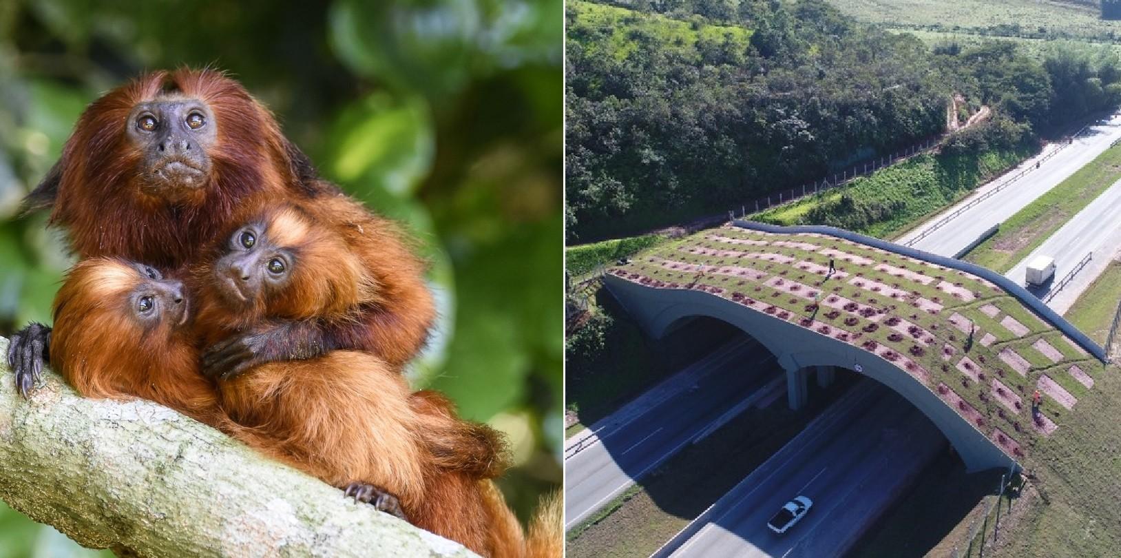 Mico-leão-dourado ganha 1º viaduto vegetado do Brasil, uma ponte para o futuro da espécie thumbnail