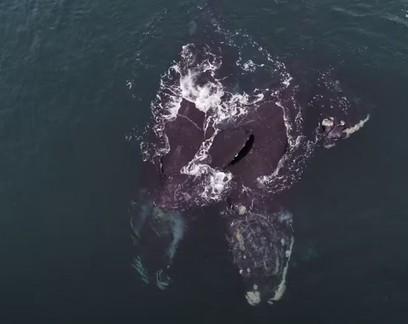 """Baleias ameaçadas de extinção aparecem """"se abraçando"""" em registro raro"""