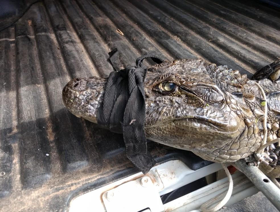 Após a captura, jacaré foi levado para área de proteção permanente que fica a cerca de 10 km de onde foi encontrado (Foto: Guarda Municipal de Gravataí/Divulgação)