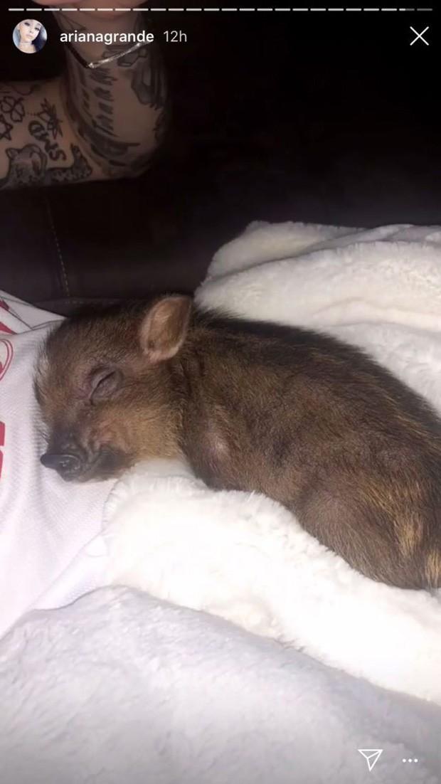 Piggy Smalls, porquinho de Ariana Grande e Pete Davidson (Foto: Reprodução/Instagram)
