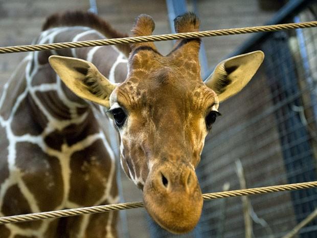Filhote tinha um ano e meio e se chamava Marius (Fot Scanpix Denmark/ AFP)