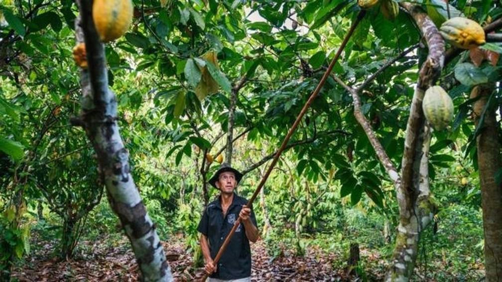 Projeto Cacau Floresta alia o cultivo de cacau com outras espécies nativas em seu sistema agroflorestal — Foto: Kevin Arnold/Divulgação