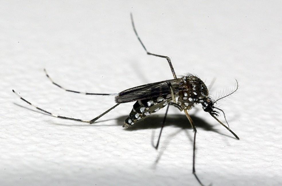 Mosquito Aedes aegypti é transmissor de doenças, como a dengue — Foto: Raul Santana/Fundação Oswaldo Cruz/Divulgação