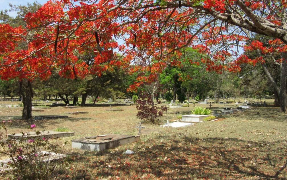 Árvore florida sobre jazigos do cemitério da Asa Sul, em Brasília (Foto: Raquel Morais/G1)
