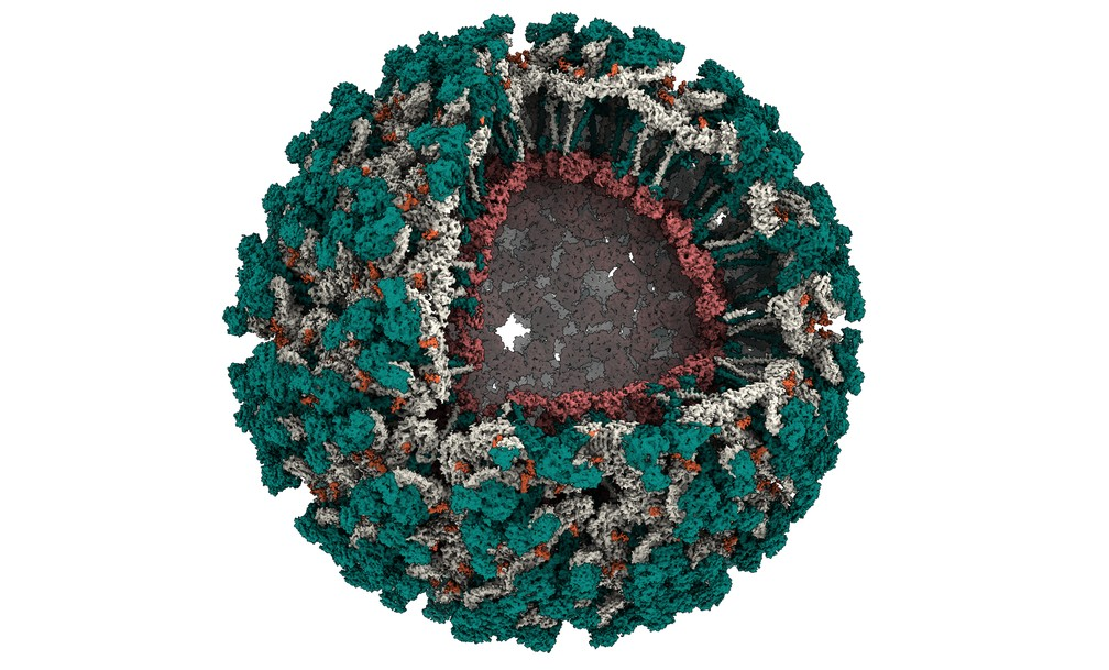 Imagem da estrutura do vírus Mayaro. Na imagem, a partícula viral está em parte aberta para possibilitar a visualização de todas suas proteínas. Cada uma das proteínas que forma a partícula viral está representada por uma cor (verde, cinza e vermelho). Os açúcares que são ligados as proteínas estão em cor laranja. — Foto: CNPEM/MCTI