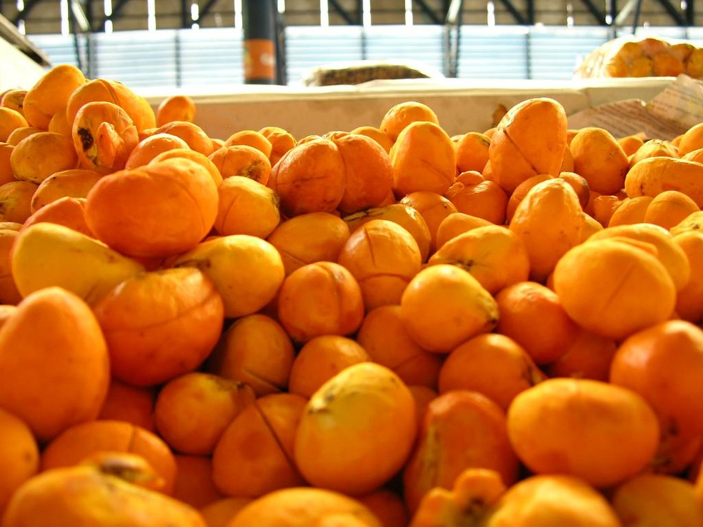 Colheita do pequi tem início com previsão de venda de 200 toneladas do fruto em Mato Grosso — Foto: João de Melo/Empaer
