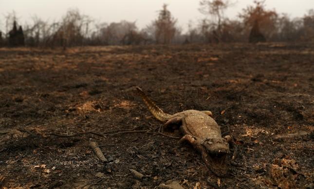 Jacaré morto nas queimadas em Poconé (MT), no Pantanal