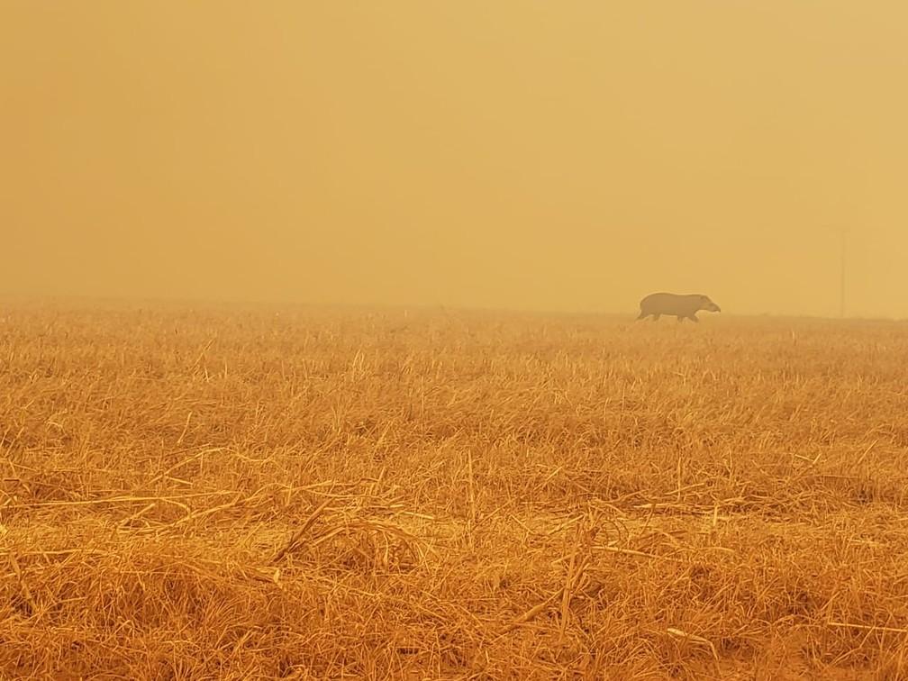 Anta é vista em meio a fumaça de queimadas em Paranatinga (MT), no dia 2 de agosto — Foto: Corpo de Bombeiros