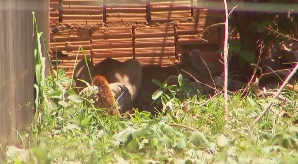 Onça foi para um terreno baldio depois de sair do telhado em Jales — Foto: Reprodução/TV TEM