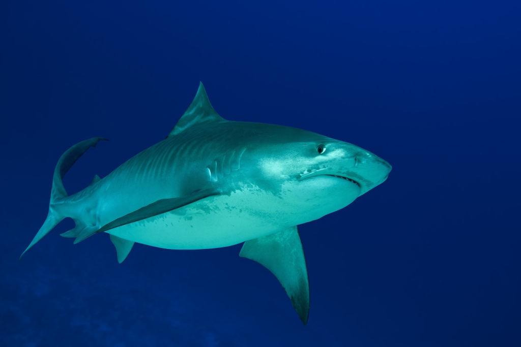 Tubarão tigre (Foto: Getty Images)