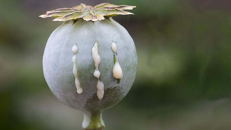 O termo 'ópio' deriva do grego 'oppion', que significa 'suco', uma referência ao látex que sai quando se corta a papoula — Foto: Getty Images/BBC