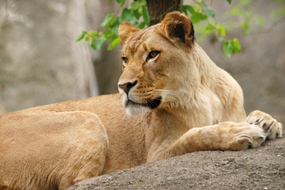 A leoa Zuri viveu com o leão Nyack por oito anos e nunca havia demonstrado comportamento agressivo antes — Foto: Reuters
