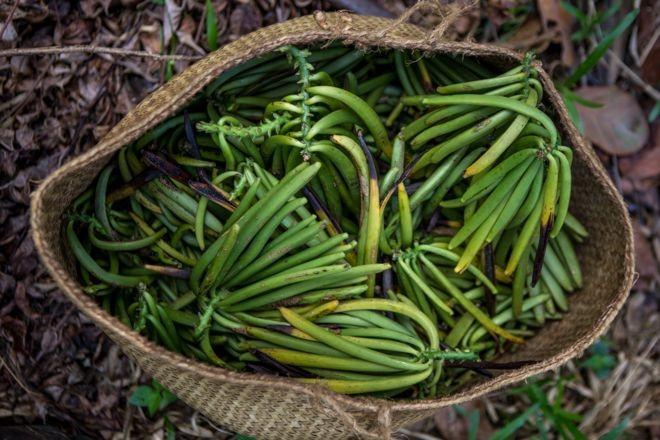 A baunilha é o fruto de orquídeas trepadeiras onde nascem favas como essas, após as floradas, recheadas de sementinhas do produto (Foto: Felipe Abreu)