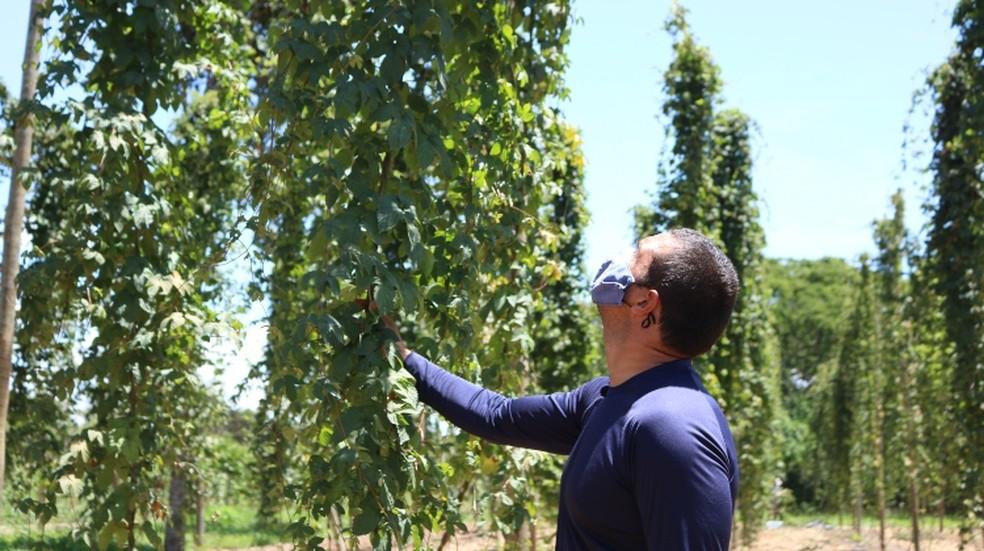 Breno Borges é um dos exemplos de produtores que estão investindo em lúpulo, no DF — Foto: Emater-DF/Divulgação