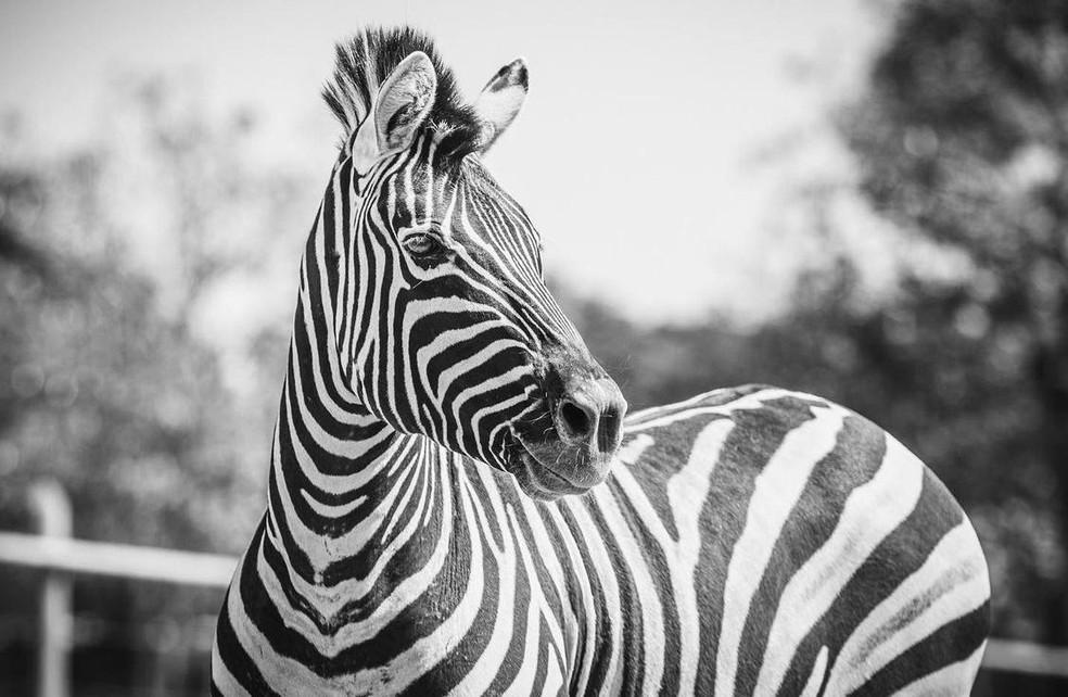 Zebra Tucha faleceu momentos antes de passar por cirurgia no Zoológico de Brasília  — Foto:  Ivan Mattos/Zoológico de Brasília
