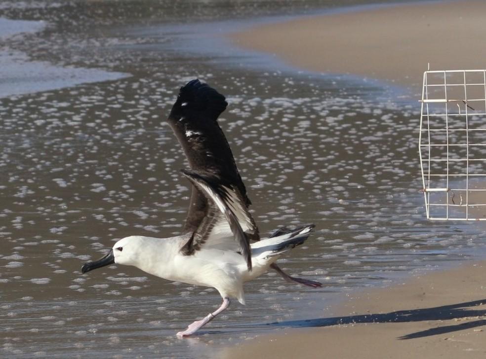 Albatroz no momento em que volta à natureza  — Foto: Nilson Coelho/R3 Animal