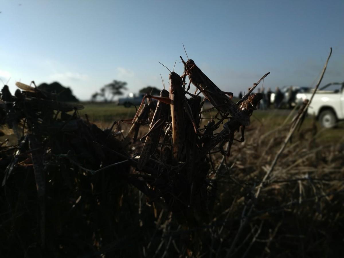 Chuva na Argentina paralisa controle da nuvem de gafanhotos; Brasil autoriza uso emergencial de produtos – G1