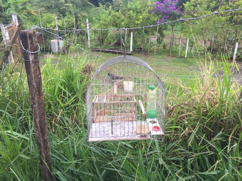 Pássaros eram usados para atrair outros em casa em Rio Claro — Foto: Polícia Ambiental/Divulgação