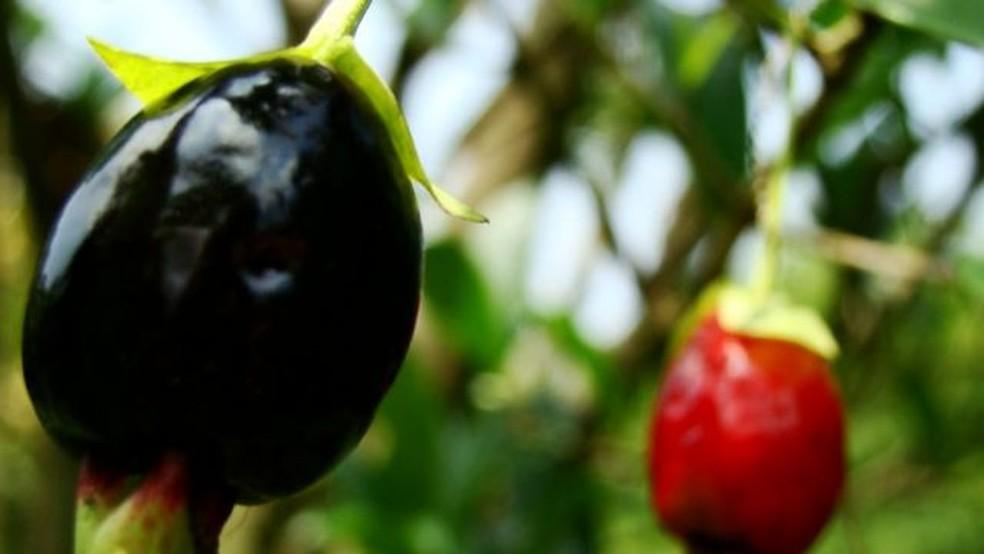 Cereja do Rio Grande tem sabor doce e intenso — Foto: Beatriz Bello/ Sítio do Bello via BBC