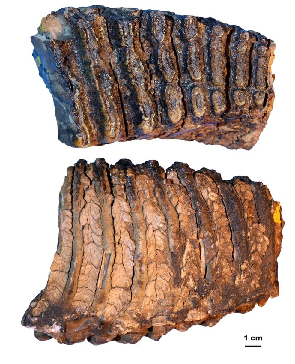 Pesquisadores descobrem DNA mais antigo do mundo em mamutes da Sibéria. Na foto, o dente de mamute Adycha, de mais de um milhão de anos. — Foto: Universidade de Estocolmo