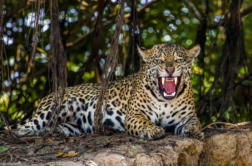 Foto mostra onça-pintada: o maior felino das Américas (Foto: Suzana Negrini/VC no TG)