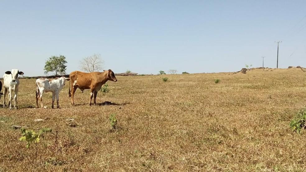 Seca castiga, inclusive, a produção de leite em Rondônia.  (Foto: Reprodução/Rodrigo Siqueira. )