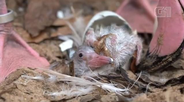 Vídeo mostra nascimento de filhote de flamingo no Parque das Aves, em Foz do Iguaçu