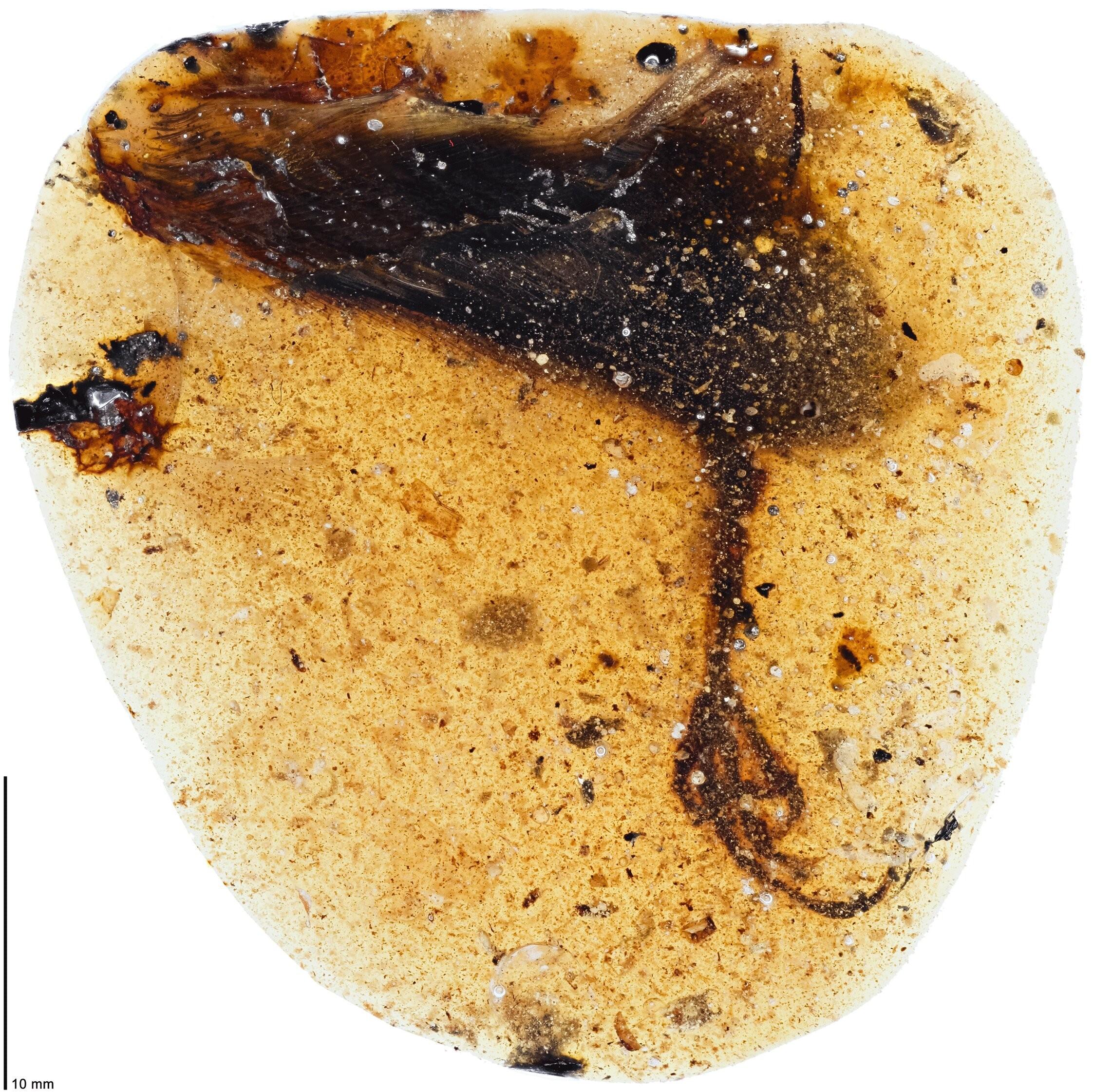 Dedo da ave era incomumente grande; neste caso media cerca de 3,5 centímetros (Foto: Lida Xing/Current Biology)