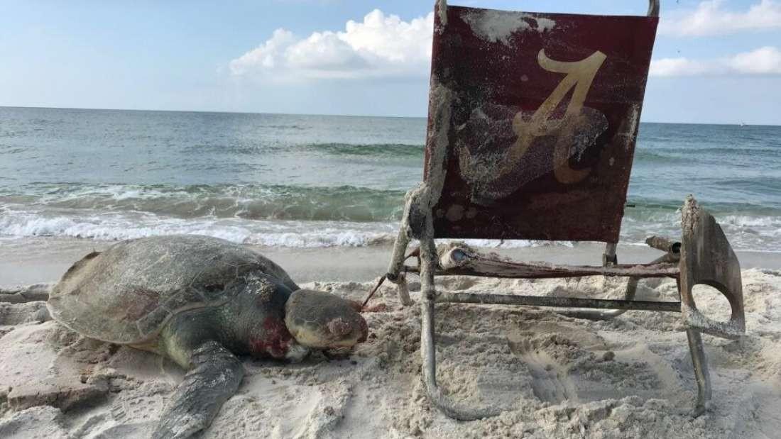 Tartarugas de Kemp estão sob proteção de lei nos EUA desde 1973  (Foto: Matt Ware)