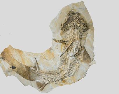 Esqueleto de tubarão de 150 milhões de anos é encontrado na Alemanha