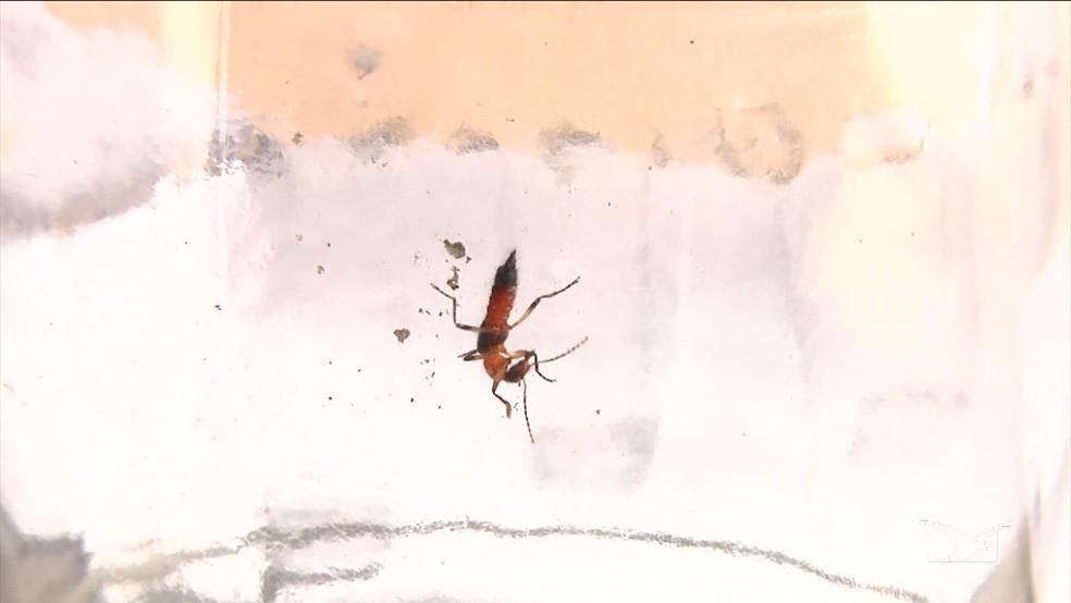 O potó libera uma toxina que é responsável por causar queimaduras (Foto: Reprodução/ TV Mirante)
