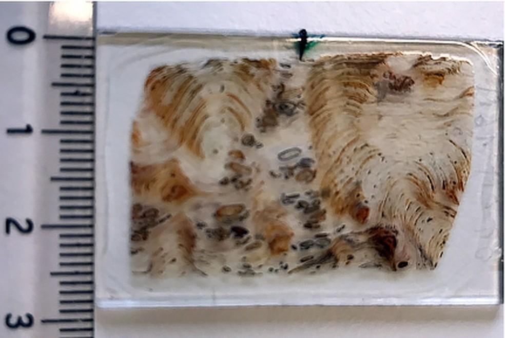 Imagem do tamanho da seção de rocha com amostras dos microfósseis que foi analisada no acelerador de partículas — Foto: Lara Maldanis