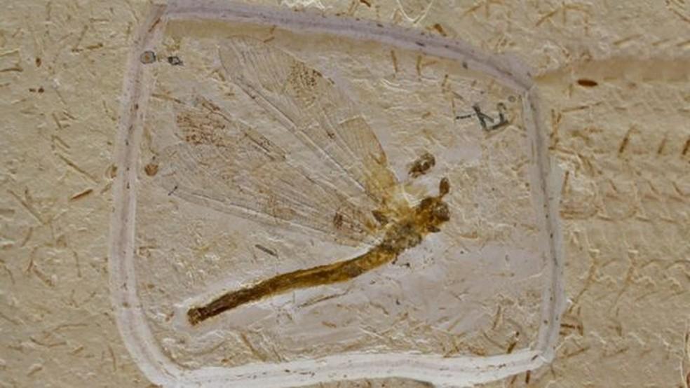 Fóssil de uma libélula encontrado na Bacia do Araripe; local sofre hoje da evasão de fósseis por meio do tráfico ilegal — Foto: Marcos Santos/ USP Imagens