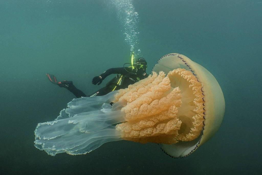 A bióloga Lizzie Daly nadou ao lado de uma água-viva gigante durante quase uma hora (Foto: Divulgação/Dan Abbott/ Wild Ocean Week)