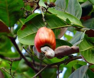 "Versátil, caju vira ingrediente ""coringa"" para indústria de alimentos à base de plantas"