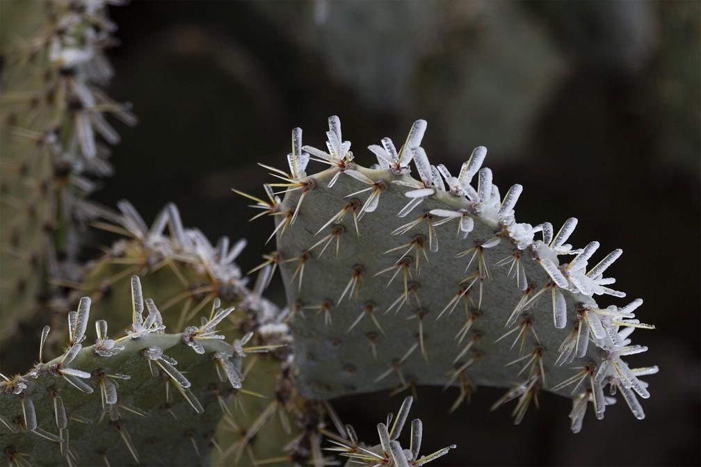 Cactus ficou com espinhos de gelo devido ao frio extremo em Midland, Texas — Foto: Eli Hartman/Odessa American via AP