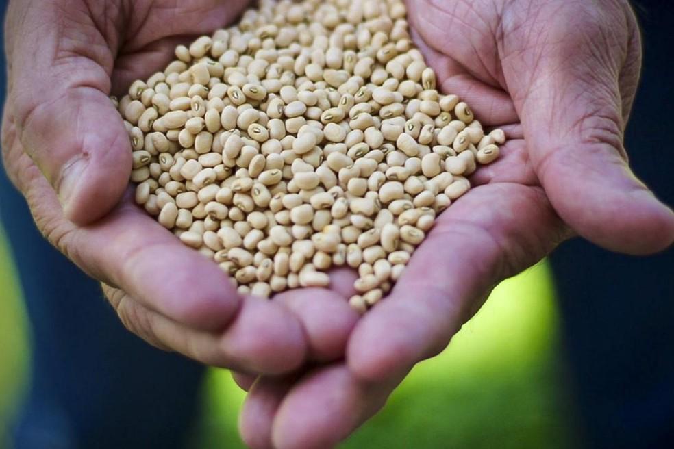 Brasil é o 4º maior produtor de feijão mundo, atrás da China, Índia e Myanmar. — Foto: Emater Pará/Divulgação