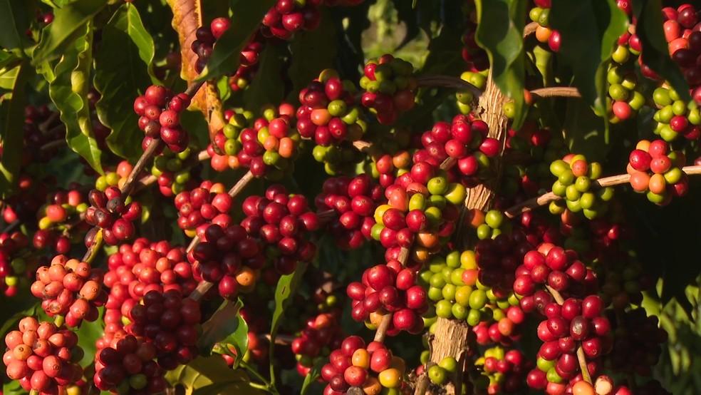 Café produzido em Cacoal, RO (Foto: Rede Amazônica/Reprodução)