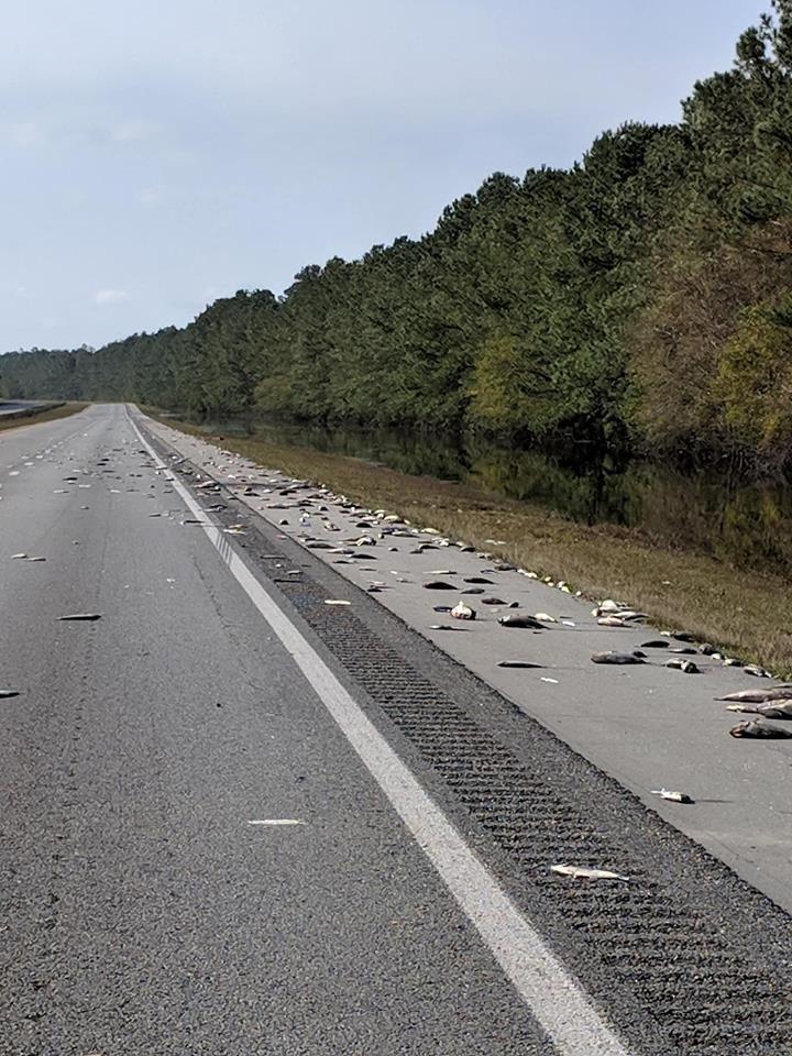 Peixes mortos em rodovia nos Estados Unidos (Foto: Divulgação)